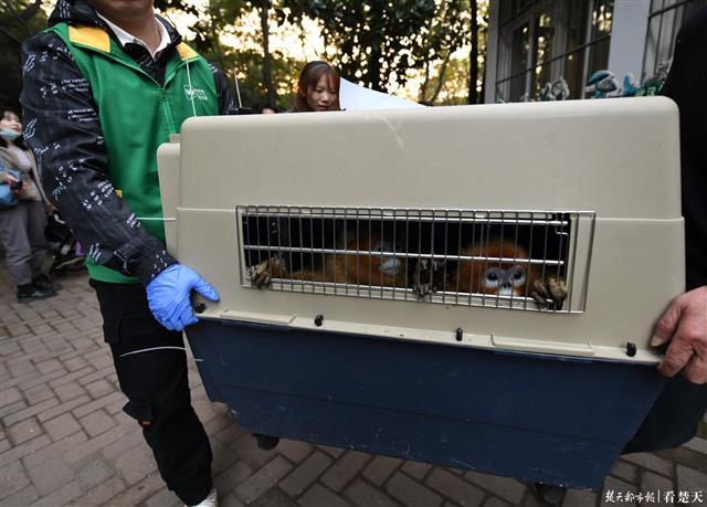 猴儿们来啦!时隔23年,武汉动物园上新5只金丝猴