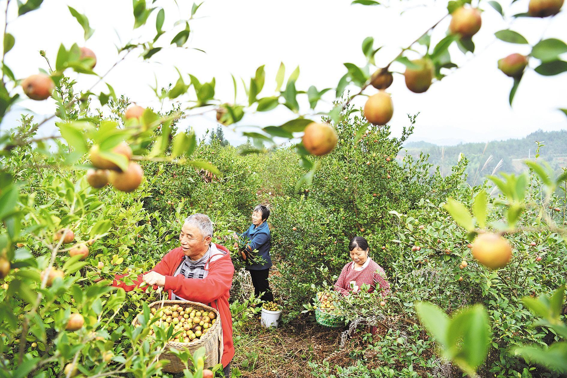 """油茶需""""加油""""——湖北木本油料产业观察之四"""