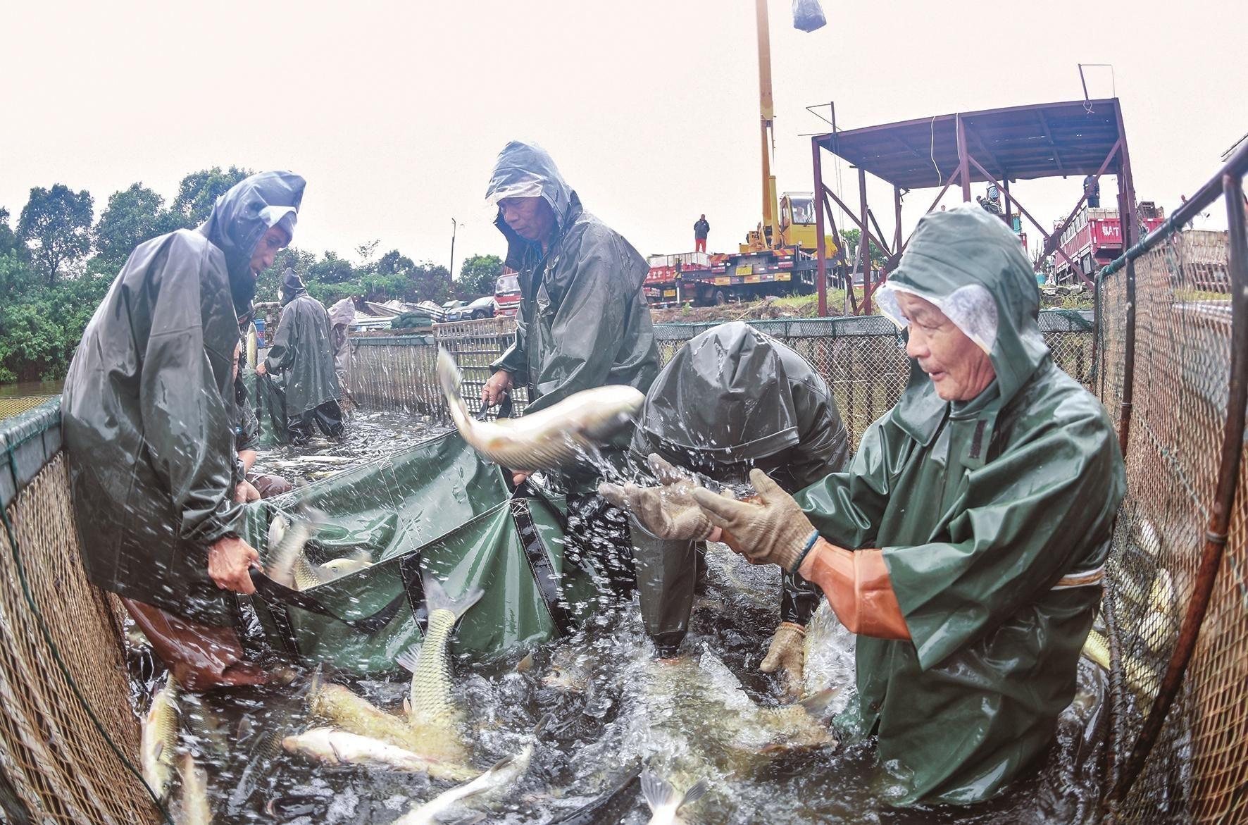 武汉组织示范养殖场批量起水存塘鲜鱼 让平价鱼游上桌