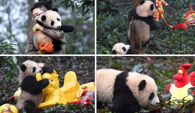 新生熊猫宝宝集体亮相 卖萌拜年