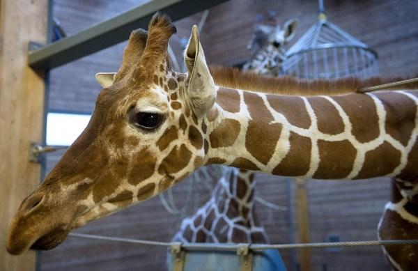 当地时间2014年2月9日,丹麦哥本哈根动物园处死一头名叫马里乌斯的年轻雄性长颈鹿,因为欧盟规定不得近亲繁殖。它的一些肉会被用来做研究,其他的当做饲料用来喂狮子等肉食动物。此前,数千名网民在多家网站上签名请愿,呼吁拯救这头被判死刑的长颈鹿。    图为马里乌斯的资料图。    数千名网民在多家网站上签名请愿,呼吁拯救这头被判死刑的长颈鹿。    图为马里乌斯的肉被当做饲料喂狮子。   数千名网民在多家网站上签名请愿,呼吁拯救这头被判死刑的长颈鹿。不过,当地时间9日上午这头长颈鹿按计