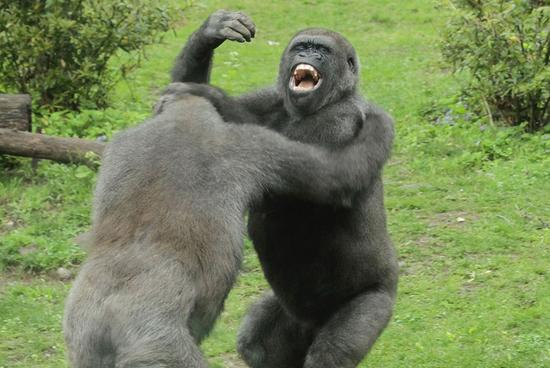 美国动物园两只大猩猩搏击互殴1小时(组图)