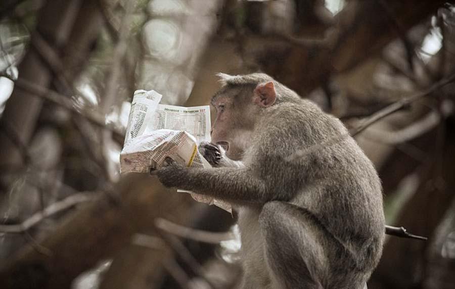 印度南部植物园中一只猕猴似乎被报纸上的股市行情惊呆。(网页截图)   据英国《每日邮报》10月7日报道,在印度南部拉巴克植物园(Lalbagh Botanical Gardens),一只猕猴一边吃午餐一边研读报纸的场景日前曝光,它似乎对股市行情的变化感到吃惊,让人不禁担心其从树上掉下来。   当时,这只猕猴正栖息在树上吃午餐,同时双手捧着当天的报纸,仔细研读最新股市新闻。它似乎对里面的消息感到震惊,时而目瞪口呆,时而沉思不已。   这些令人感到滑稽的照片均为28岁软件工程师巴瓦尼古查(Bhavani