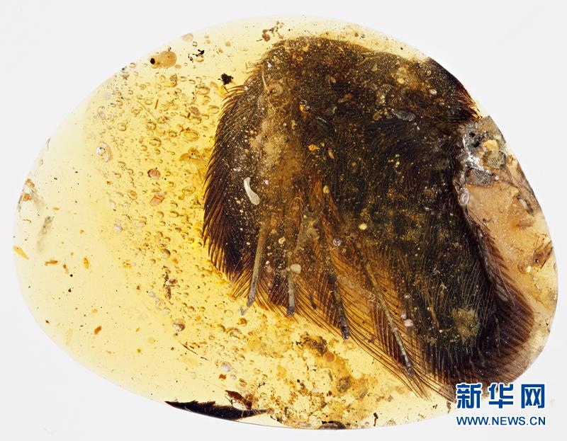 图为天使之翼标本。6月29日,中加英美等国的古生物学家和昆虫学家宣布,他们首次发现了琥珀中的古鸟类标本,这是人类首次有机会一睹恐龙时代古鸟类的真实面目。由中国地质大学(北京)博士邢立达与加拿大萨斯喀彻温省皇家博物馆教授瑞安麦凯勒领衔的研究论文发表于国际知名期刊《自然》杂志子刊《自然通讯》上。据介绍,此次的标本发现于缅甸北部克钦邦胡康河谷,来自白垩纪中期诺曼森阶,距今约9900万年,包括了两个鸟类的翅膀和部分软组织。科学家将其分别称之为天使之翼与罗斯标本。新华社发(邢立达提供) 科学家首次发现
