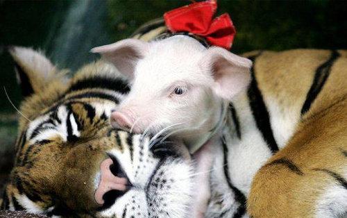 老虎妈妈丧子伤心 动物园用猪仔替代安慰