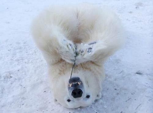 俄罗斯动物园北极熊开心戏雪
