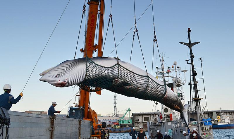日本捕鲸引公愤:已捕杀177头 日本为何执迷于捕鲸