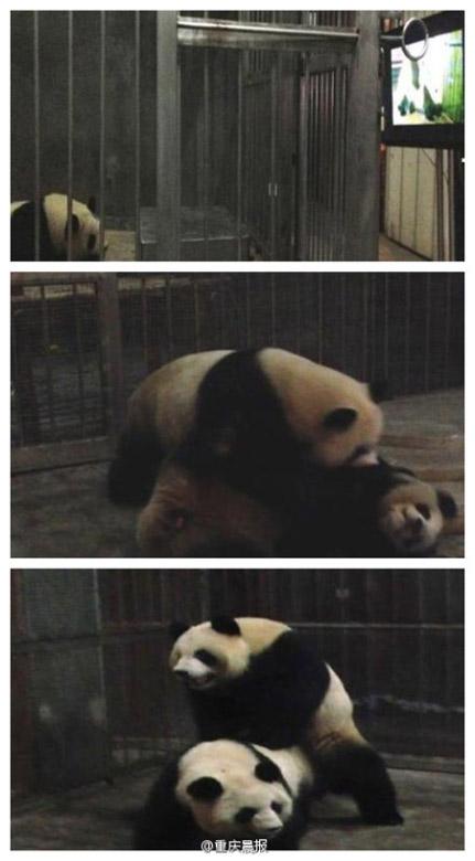 """原标题:""""少女""""大熊猫不""""懂事"""" """"爱情教学片""""来帮忙   """"美女""""大熊猫"""