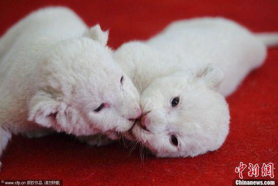 与老虎抢喝狗奶   5月13日,杭州野生动物世界,三只出生20多天的小白狮