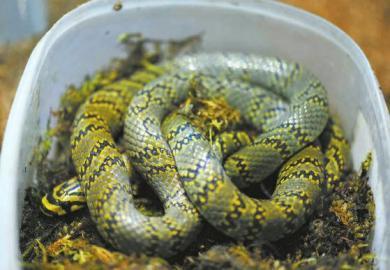 中国繁育最美蛇 为什么保护野生动物?情况多危急?