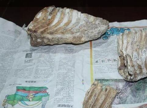 浙江山洞现上古巨兽剑齿象牙齿 曾横行华夏大地