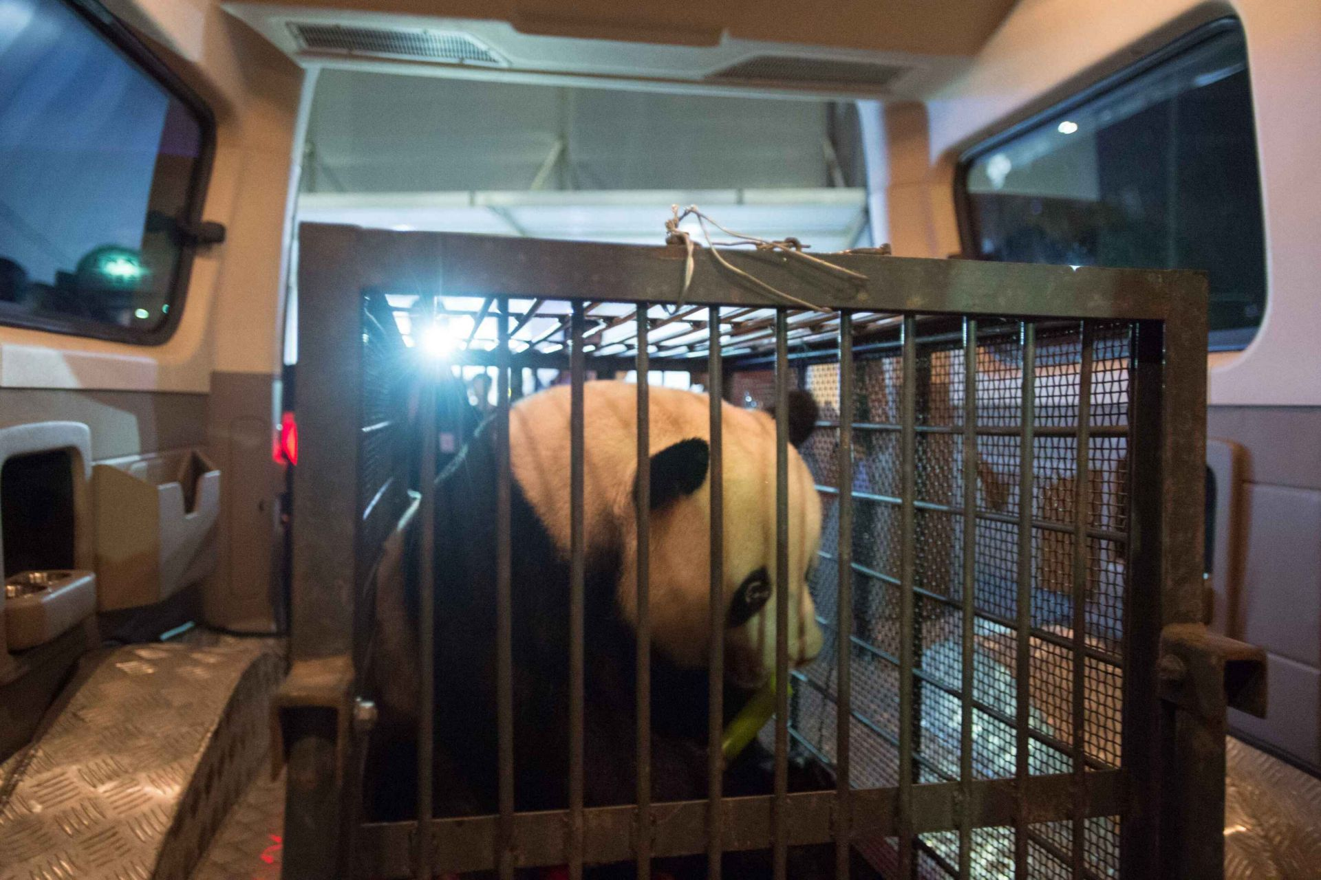 武汉唯一一只大熊猫伟伟离汉抵蓉 看到好吃的立马变吃货