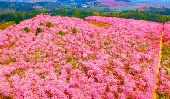 6、万亩樱花园.jpg