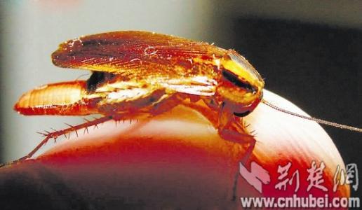 中国学者发现蟑螂断肢再生奥秘 揭示白蚁由蟑螂进化而来