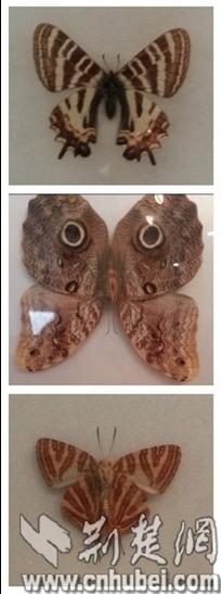 类似动物斑纹的蝶:虎凤蝶,猫眼蝶和斑马小灰蝶