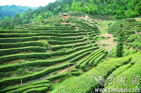 湖北发布19条茶文化旅游线路 游绿水青山品道地新茶(图)