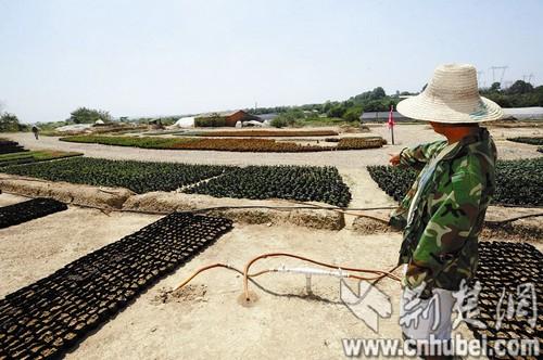 黄陂滠口灌溉渠水被污染 600亩农田傍水喊渴(组图)