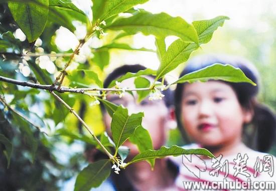 新洲正在举办桂花节,在新洲花果山生态农业园,有近2万亩桂花免费向