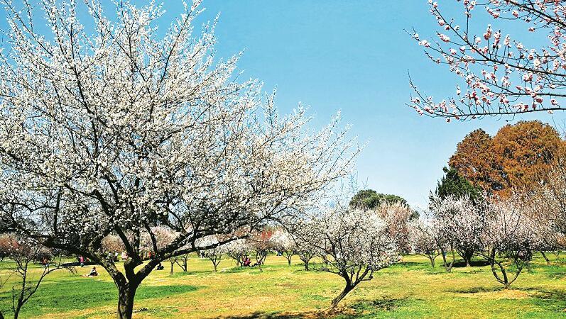 东湖磨山梅花花期10年来最早 宜昌武汉油菜花提前半月盛开